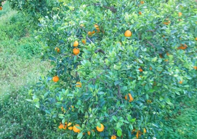 46993-jardin-naranjas-taronchers-chalet-valencia